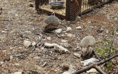 Seven Hedgehogs released at Al Ma'wa