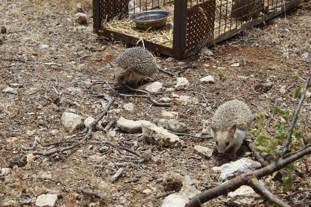 Seven Hedgehogs released at Al Ma'wa