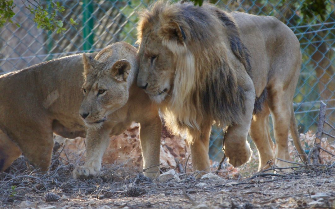First group of animals moved to Al Ma'wa