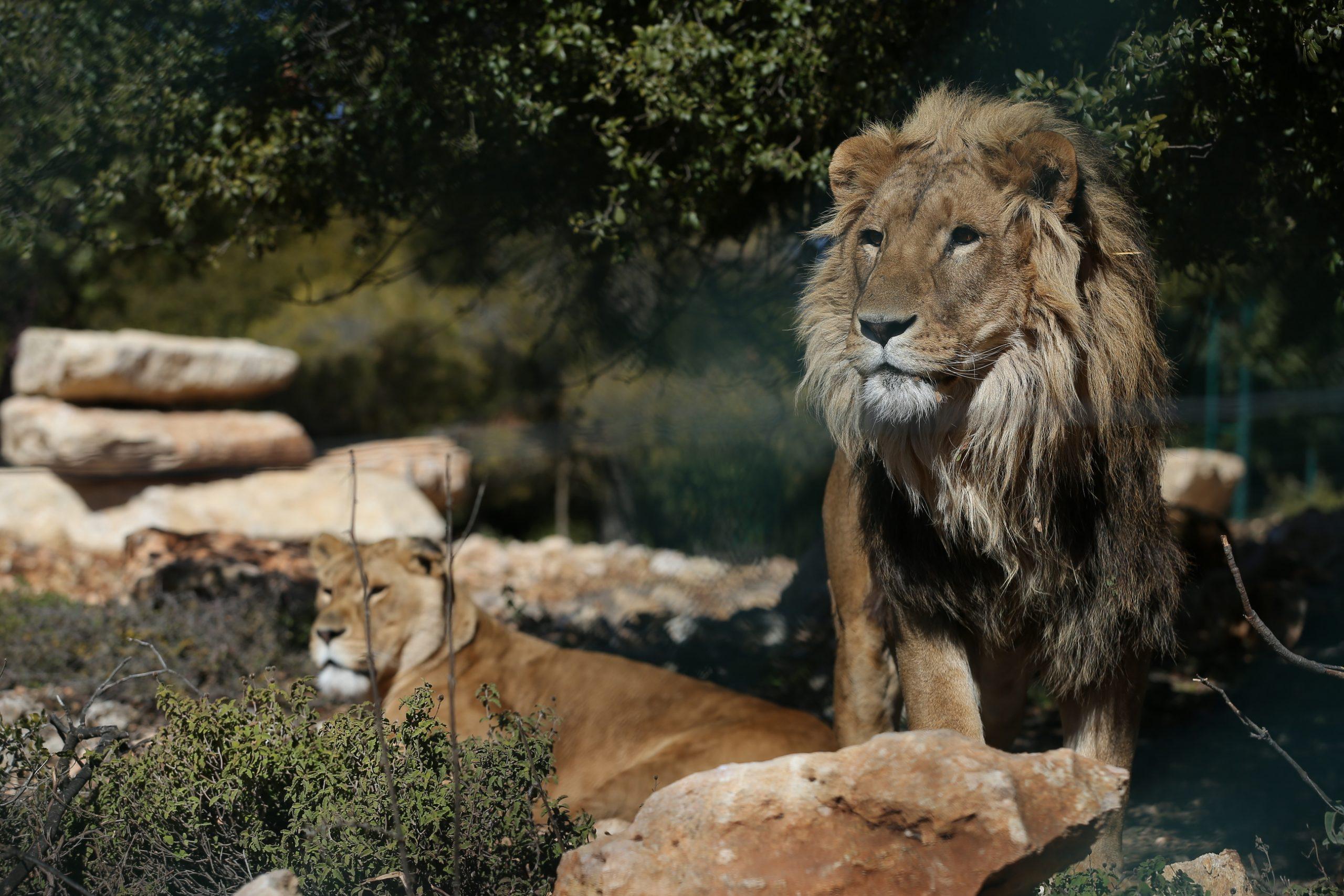 Simba and Asal