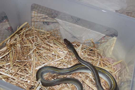 130 Pythons received by Al Ma'wa