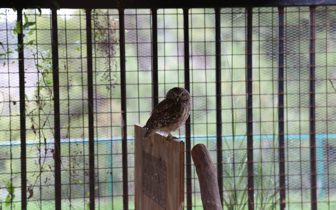 Little Owl confiscated by the RSCN