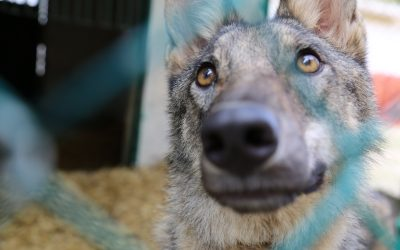 Confiscated Wolf by he RSCN