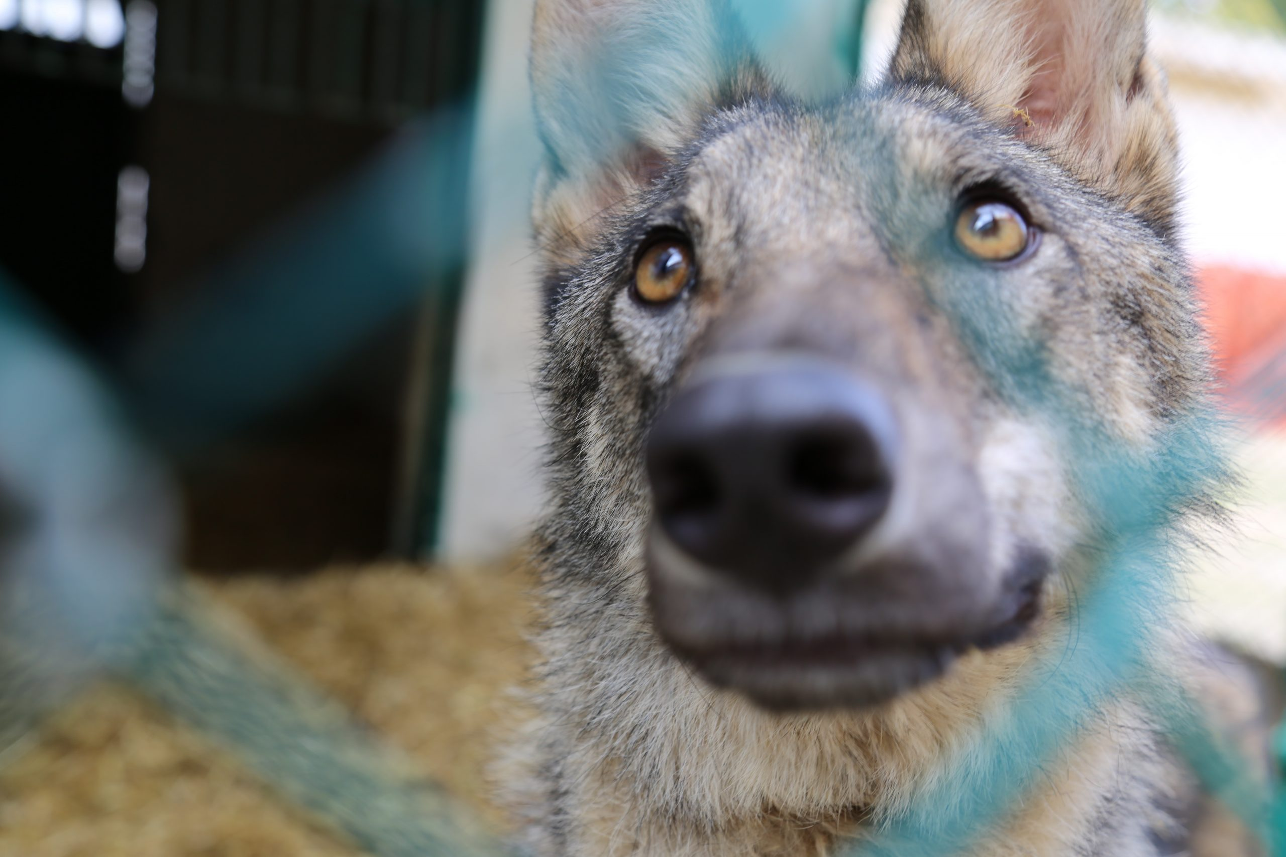 Confiscated Wolf