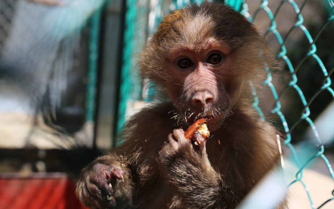 Baby Baboon confiscated by The RSCN
