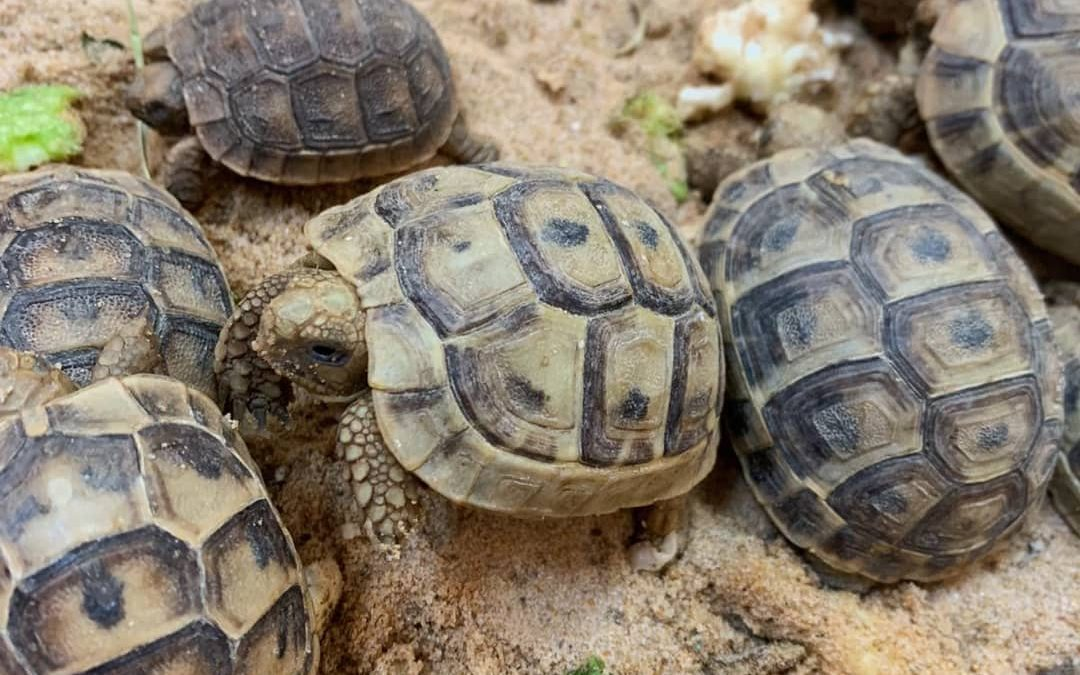 The Greek Tortoises Update