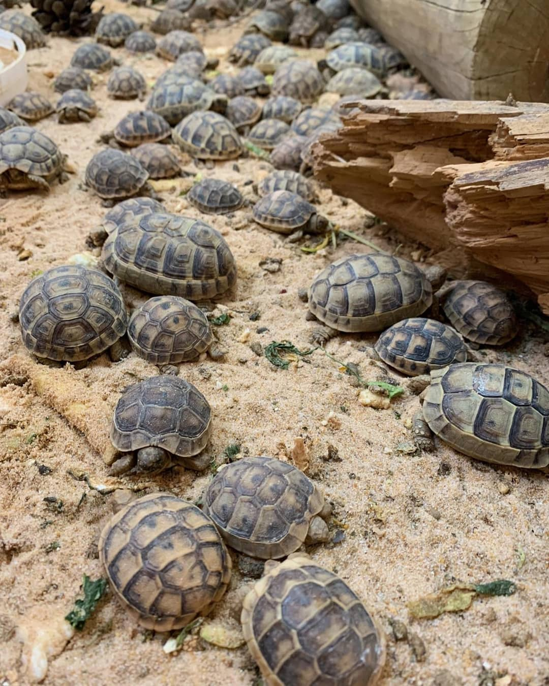 Greek Tortoises