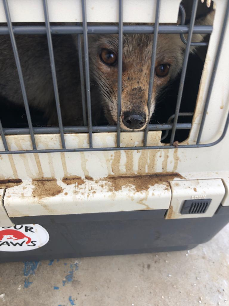 Foxes released into the wild in Jordan