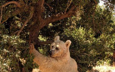 Balou the Syrian Bear and his climbing skills!