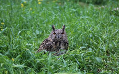 Eagle Owl surrendered to the New Hope Centre