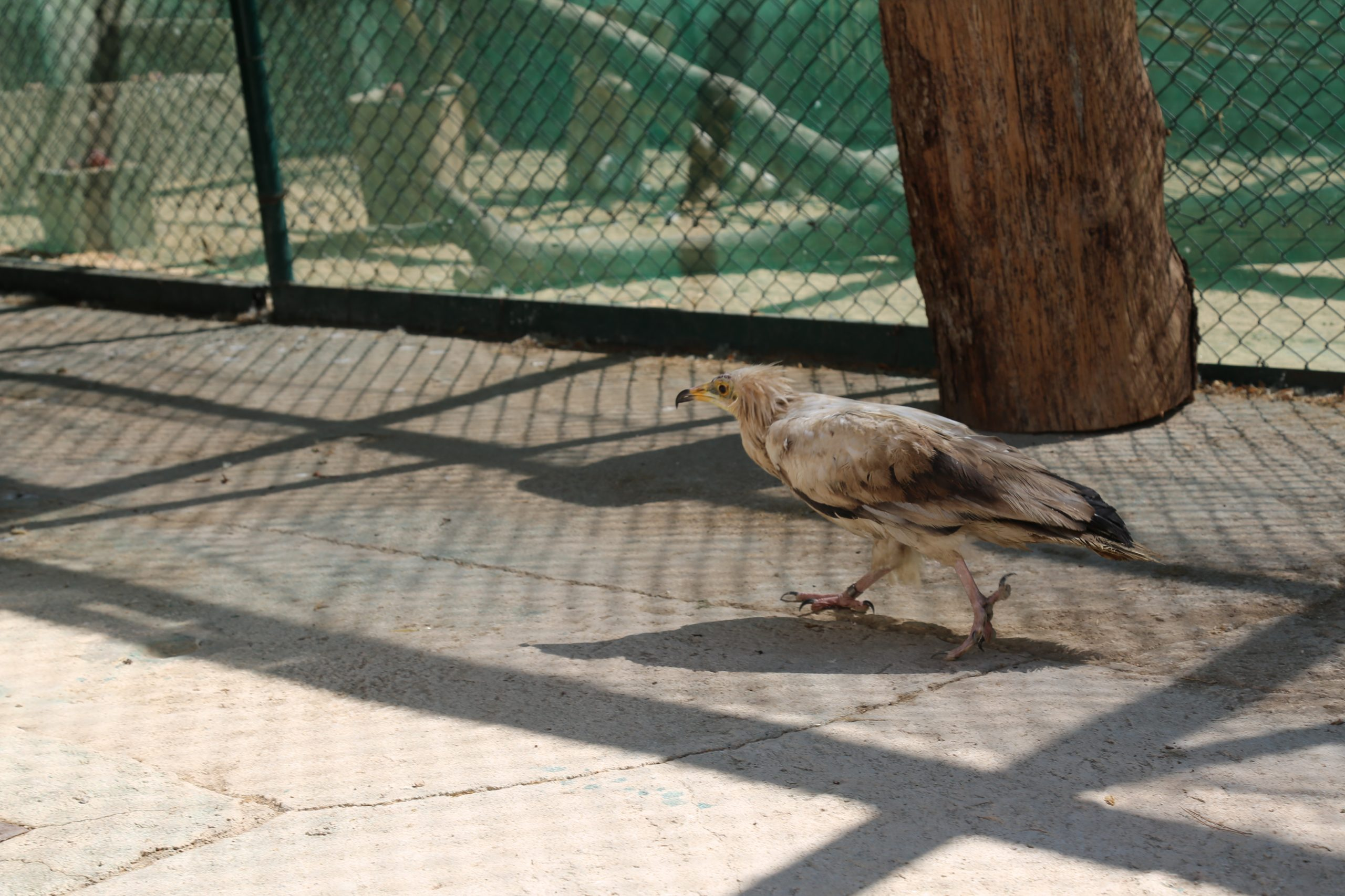 Egyptian vulture on his arrival to NHC