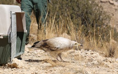 Confiscated Egyptian Vulture