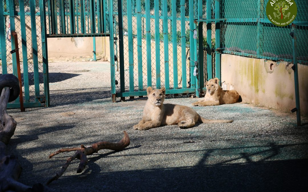 Two Confiscated Lion Cubs