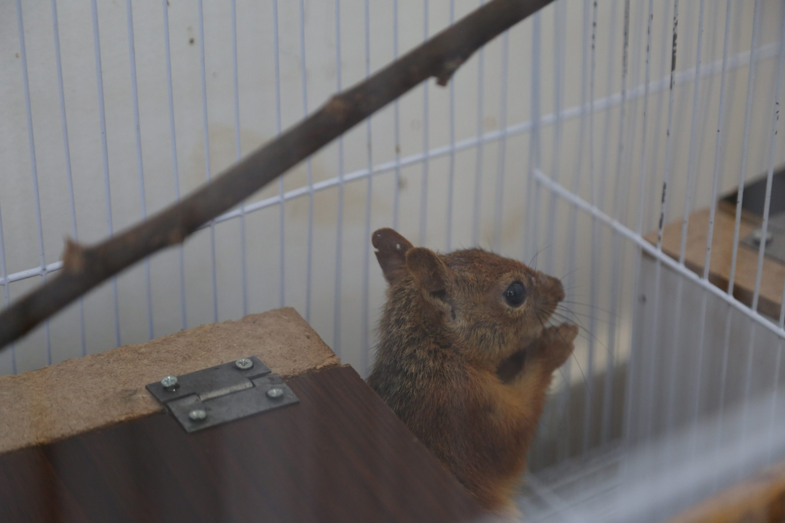 A squirrel before his release