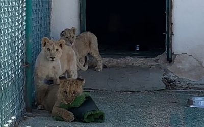 Three Lion Cubs Integration