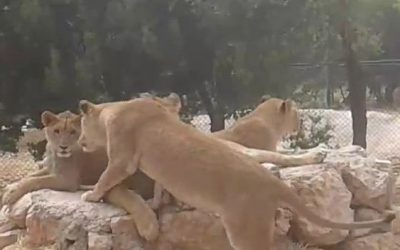 Two groups of lion cubs successfully integrated