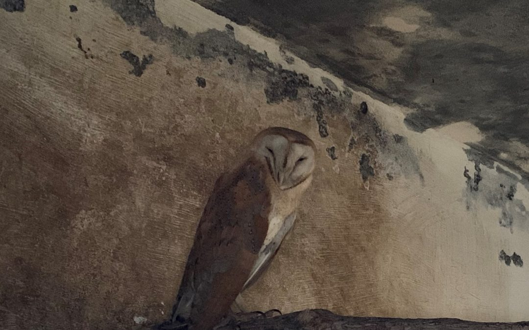 Beautiful Barn Owl from a citizen