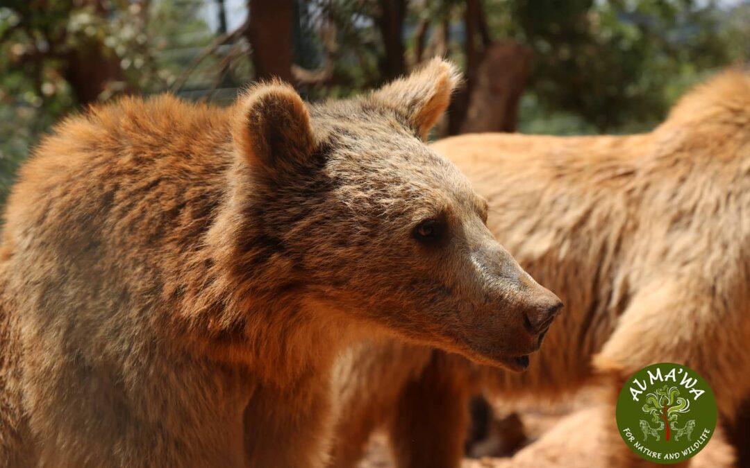 Three bear cub siblings