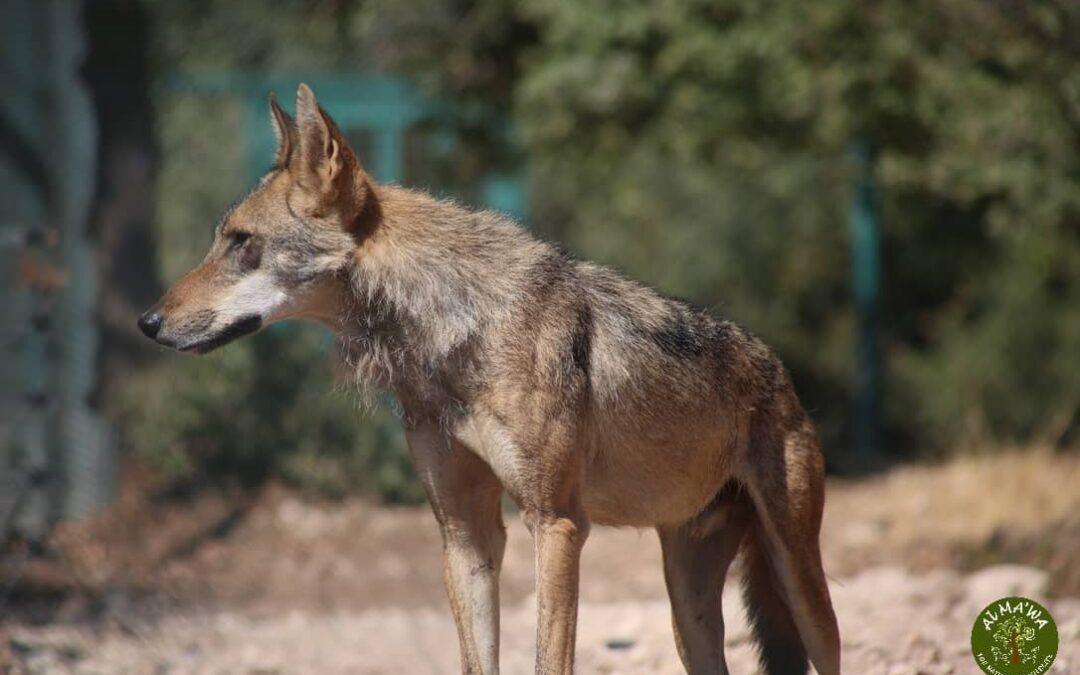Nine wolves moved to Al Ma'wa